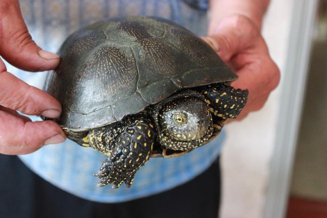 Европейская болотная черепаха в Перевозе