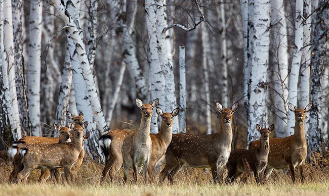 Пятнистые олени в Нижегородской области